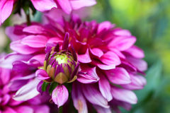 Blossoming of autumn aster flower Royalty Free Stock Photo