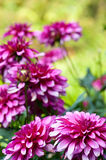 Blossoming of autumn aster flower Stock Photos