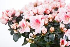 Blossoming azalea Royalty Free Stock Photo