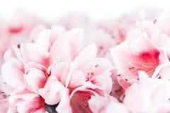 Blossoming azalea Stock Image