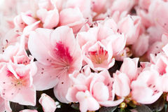 Blossoming azalea Stock Images