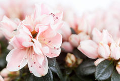 Blossoming azalea Stock Photography