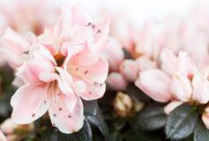 Blossoming azalea Stock Photography