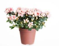 Blossoming azalea Royalty Free Stock Image