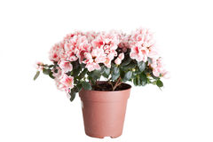 Blossoming azalea Stock Image