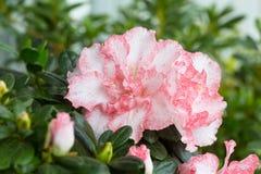 Blossoming  azalea Stock Photos