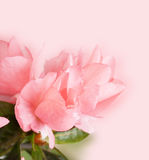 Blossoming azalea Royalty Free Stock Images