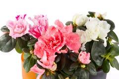 Blossoming azaleas Royalty Free Stock Image