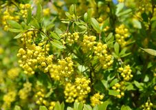 The blossoming barberry ordinary Berberis vulgaris L stock photos