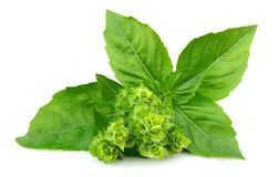 Blossoming basil Stock Image