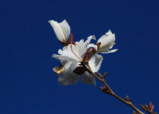 Blossoming Bauhinia flower Stock Images