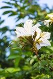 Blossoming of Bauhinia winitii Craib flower Royalty Free Stock Photo