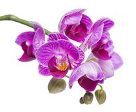 blossoming beautiful branch in shades of purple orchid, phalaenopsis is isolated on white background, close up stock photo