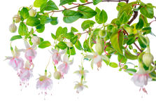 Blossoming beautiful delicate white with pink fuchsia, isolated Stock Photography
