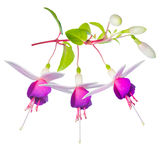 Blossoming beautiful fantastic (collage) colorful fuchsia flower Stock Image