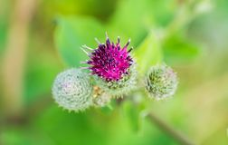 Blossoming beautiful flower with burdock prickles. Royalty Free Stock Photography