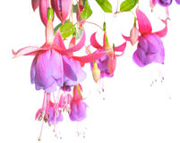 Blossoming beautiful pink with a lilac fuchsia is isolated Stock Photos