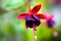 Blossoming beautiful red and dark-cherry fuchsia in nature Royalty Free Stock Photos