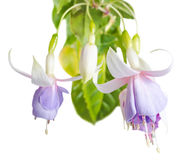 Blossoming beautiful soft white and  lilac fuchsia is isolated Royalty Free Stock Photo