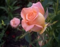 Blossoming beautiful tender bud of pink rose stock images