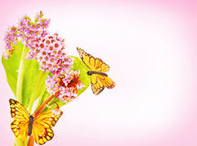 Blossoming Bergenia flowers with butterflies against pink gradie Stock Photography