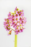 Blossoming Bergenia flowers Stock Image