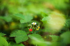 Blossoming and berry of wild strawberry on a green Royalty Free Stock Images
