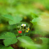 Blossoming and berry of wild strawberry on a green Royalty Free Stock Photos