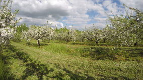 Blossoming big beautiful apple trees  in industrial garden. Timelapse 4K stock video footage