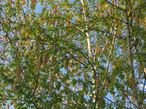 Blossoming birch. Branches of the blossoming young spring birch, spring evening royalty free stock images