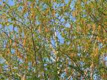Blossoming birch. Branches of the blossoming young spring birch, spring evening royalty free stock photos
