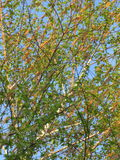 Blossoming birch. Branches of the blossoming young spring birch, spring evening, vertical shot royalty free stock photo