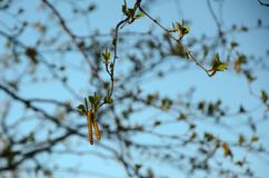 Blossoming birch buds in spring, against a blue sky background royalty free stock image