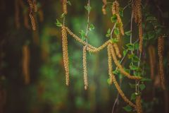 The birch catkins on the trees. Blossoming birch earrings on trees in the forest in spring in Russia stock photography
