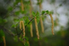 The birch catkins on the trees. Blossoming birch earrings on trees in the forest in spring in Russia stock photo