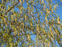 Blossoming of a birch of povisly (warty) (Betula pendula Roth). Spring landscape stock images