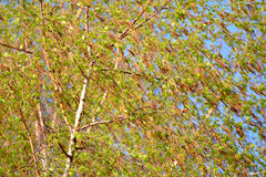 Blossoming of a birch of povisly (warty) (Betula pendula Roth). stock photography