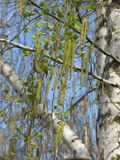 Blossoming birch royalty free stock photography