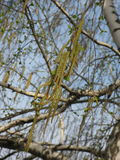 Blossoming birch stock photography