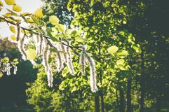 Blossoming birch tree in the summer park royalty free stock photos
