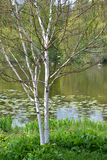 The blossoming birch useful Himalaya Betula utilis D.Don on the bank of a pond royalty free stock photos