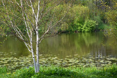 The blossoming birch useful Himalaya Betula utilis D.Don grows on the bank of a pond stock image