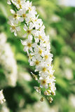 Blossoming bird cherry Royalty Free Stock Image
