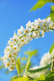 Blossoming bird cherry Stock Photos