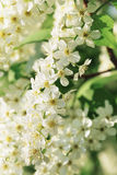 Blossoming bird cherry Stock Images
