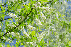 Blossoming bird cherry. The blossoming bird cherry in the spring Royalty Free Stock Photography
