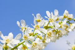 Blossoming bird cherry Royalty Free Stock Images