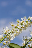 Blossoming bird cherry Stock Photography