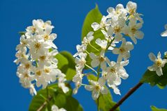Blossoming bird cherry against the blue sky Stock Images