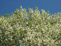 Blossoming bird cherry against the blue sky in early spring. Stock Photos